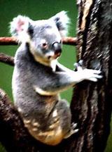 Australia's cuddly Koala bear.