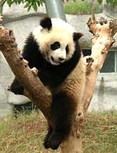 China's loveable Panda bear.