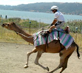 Camel Racing in Benicia, California.